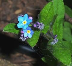 Faerie Trails (vickimvh) Tags: blue flower green yellow spring purple flowerbud forgetmenots