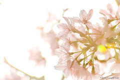 DSC_8542 (Frankie Tseng ()) Tags: park pink flowers sunset sky bw flower silhouette photography 50mm blackwhite nikon outdoor flash sunny tokina cherryblossoms fade nikkor 70300mm tamron 90mm f8 1224mm f28 f4 1870mm bwphotography blackwhitephotography portraitphotography outdoorportrait sb900 yongnuo outdoorportraitphotography yn568