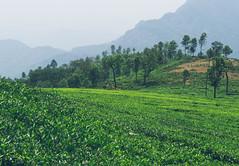 A tea estate in Ooty / Coonoor (Sasi kiran) Tags: tea ooty coonoor teaestate