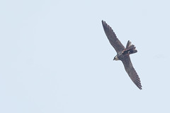 hobby snatched a barn swallow (2014-aug-09) (kPepels) Tags: barn hobby prey swallow zwaluw boeren boomvalk