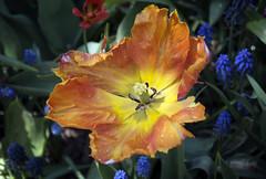 Spring Color II (Joe Josephs: 2,650,890 views - thank you) Tags: nyc newyorkcity floral spring flora centralpark manhattan springflowers centralparknewyork springtime urbanlandscapes urbanparks springcolor joejosephs joejosephsphotography