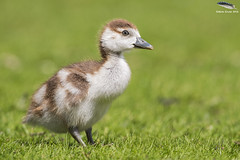 Egyptian Goose Gosling (Mick Erwin) Tags: goose egyptian gosling