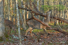 Whitetail Does  4-18-16 (Cal-Photo) Tags: nature tennessee wildlife deer whitetail middletennessee fallcreekfallsstatepark