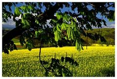 20160424-164546 (lichtschattenjaeger) Tags: yellow landscape gold diesel bio eifel gelb raps biodiesel vulkan getreide gerste weizen benzin hafer biosprit