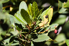 Toyon (Finatic 's iNaturalist Stream) Tags: toyon