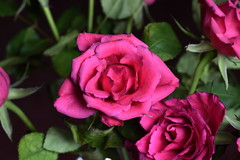 DSC_0874 Roses (PeaTJay) Tags: flowers roses plants macro nature rose gardens fauna reading flora sigma indoors micro closeups berkshire rosebuds lowerearley nikond750