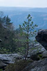 Groer Zschirnstein (Tofutierchen) Tags: tree germany schweiz sandstone saxony sachsen sandstein baum fichte schsische