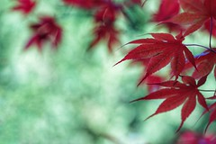 Maple leaves (JPShen) Tags: red green leaves leaf maple bokeh windy