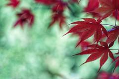 Maple leaves (JPShen) Tags: red green leaves leaf maple bokeh windy