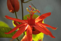 Passiflora Piresiae (aprille s) Tags: florida passiflora passionflower pompanobeach butterflyworld 2016 aprilles passifloracaea passiflorapiresiae
