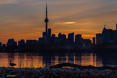 Canada goose silhouetted in front of Toronto skyline (Phil Marion) Tags: travel wedding boy vacation people woman hot sexy ass beach girl beautiful beauty sex canon naked nude nipples slim boobs nu candid dick young hijab nackt explore teen tranny xxx chubby plump  burqa nudo desnudo dink  nubile telanjang schlampe    5photosaday explored  thn nijab    kha    malibog    philmarion         saloupe