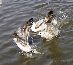 Fighting for food (Gill Stafford) Tags: park seagulls lake water birds wales pond image gulls photograph conwy fod northwales gillys abergele pentremawr gillstafford
