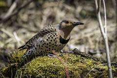 Northern Flicker (female) (peter57117) Tags: bird birds flicker northernflicker colaptesauratus