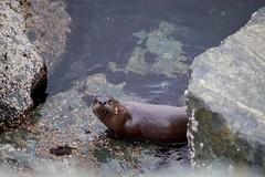 otters-2 (rlittle16) Tags: ca canada britishcolumbia oakbay