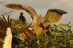 Graak! (baro-nite) Tags: birds pentax florida wildlife ardea greatblueheron k5 avifauna ardeidae wakodahatcheewetlands smcpentaxda14300mm