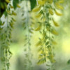 The golden chain / Zlatni lanac (Gordana AM) Tags: canada tree green yellow vancouver garden out square botanical photography golden photo spring focus photographer bc blossom britishcolumbia clusters fresh chain bloom april van impression blury portcoquitlam laburnum gordana lowermainland dusen lepiafgeo wwwgordanaphotocom gordanamladenovic