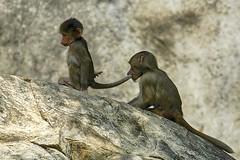 Tail of baboon soup anyone? (ucumari photography) Tags: animal mammal zoo nc north carolina april baboon primate hamadryas 2016 specanimal ucumariphotography dsc9399