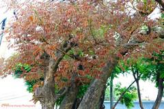 Cabbage Tree Sprouting,  El Salvador (ssspnnn) Tags: tree colors arbol cabbage elsalvador arvore jamaican cabbagetree nunes sansalvador brotos almedro fabaceaefamily canon70d andirainermis jamaicacabbagetree spereiranunes snunes spnunes almedrodelrio andiraanthelmi araroba goapowder