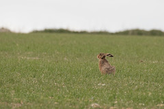 Brown Hare (Molliehattie) Tags: animal hare