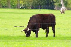 Versailles - 09 dans le parc du Chteau, la ferme de Marie-Antoinette (paspog) Tags: france spring bull versailles april avril chteau parc printemps marieantoinette frhling taureau 2016 parcduchteau hameaudemarieantoinette
