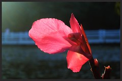 Canna Lily Rosita (ragams) Tags: pink india flower nature evening glow lily sunrays ooty rosita canna