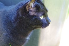Casimir (Close-up at Plant Pot) (frankbehrens) Tags: cats tom cat chats chat pentax gatos gato katze katzen kater ks2 pentaxks2