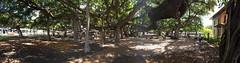 Banyan Tree (jmbaird) Tags: vacation hawaii us unitedstates lahaina banyantree