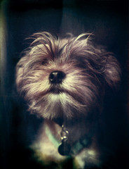 Charlie (mckenziemedia) Tags: portrait dog cute film face closeup puppy polaroid type expired 195 669 yorkiepoo