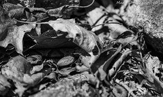 Young Northern Copperhead (Lotterhand) Tags: snake massachusetts copperhead
