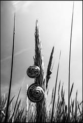 20130717-761 (sulamith.sallmann) Tags: bw plants plant france nature grass animals tiere frankreich europa natur pflanze pflanzen sw gras normandie snails schnecke schnecken manche fra tier grser wirbellose lahague bassenormandie siouville sulamithsallmann