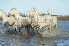 40081028 (wolfgangkaehler) Tags: horse white france water french europe european running wetlands marsh splash herd whitehorse marshland wetland camargue southernfrance splashing marshlands galloping 2016 whitehorses camarguehorses intocamera towardscamera