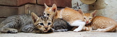 Kittens in my backyard (BI.AH) Tags: pet cats pets brown black cute beautiful animal yard cat eyes backyard kitten feline tabby gang adorable kitty kittens cutie cuteness catphotography