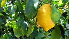 IMG_7612 -   nel mio giardino (molovate poco presente) Tags: primavera canon powershot giallo palermo fiore albero inverno limone sicilia hs concadoro zagara nelmiogiardino agrumi sx40 evola baccello volate tafme molovate