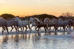 40080887 (wolfgangkaehler) Tags: sunset horse france water french europe european wetlands marsh herd marshland wetland eveninglight camargue southernfrance marshlands 2016 camarguehorses