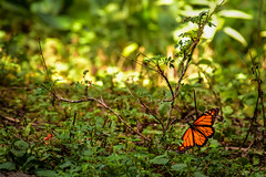Monarch butterfly sanctuary (herbal tree) Tags: travel pine forest butterfly mexico wildlife monarch migration backpacker sanctuary 2015 angangueo