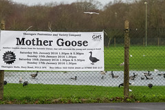 Mother Goose (roger_forster) Tags: wild pool grass birds sign poster flood eating january hampshire pantomime gosport mothergoose brentgeese alverstoke hmssultan sultanpolofield