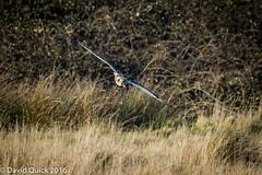 (DavidQuick) Tags: england reserve hampshire marsh wildlifetrust farlington shortearedowl copyrightdavidquick2016