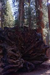 Sekwoja | Sequoia