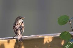 EOS10498 Sparrow. Back yard. Edmonton Alberta Canada (E.W. Smit Wildlife) Tags: canada bird nature birds animal animals canon outdoors edmonton outdoor wildlife tripod tourist tourists sparrow alberta housesparrow wildrosecountry gitzo avian albertacanada rivervalley telephotolens edmontonalberta wimberley wildanimals gitzotripod travelalberta edmontonparks gimbalhead canoneos1dmarkiii canonef500mmf4lisusm 1dmarkiii canon1dmarkiii wimberleywh200 canonef500mmf4lis supertelephotolens ef500mmf4lisusm ef500mmf4lis wimberleygimbalhead ef500mmf4lisusm14x canonef500mmf4lisusm14x gitzog1325mk2 ef500mmf4lis14x wimberleygimbalheadwh200 g1325mk2 gitzog1325mk2tripod canonef500mmf4lis14x