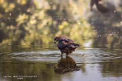 IMG_2386_#1 (Mir Faisal) Tags: morning pakistan kite reflection bird nature water photography outdoor wildlife lahore faisal faisalmir