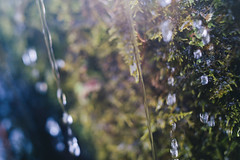 DSC04416 (Benjamin Ling Photography) Tags: plants nature water rock gardens digital forest 35mm lens photography moss bokeh sony botanic canberra algae portra fee whacking preset t15 samyang a7s