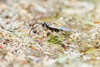 Braconidae. Microgastrinae. 5mm (David Ball.) Tags: singapore wasp hymenoptera microgastrinae canon270ex