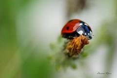 La bte  bon Dieu (rj@ubertsb) Tags: macro nature rouge noir sony insecte coccinelle sbastien exterieur tamronspaf90mmf2 rjubertsb meleux