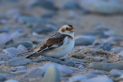 Snow Bunting (cooky1959) Tags: beach wales shoreline pebbles buntings snowbunting tideline wintervisitor