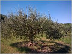 Olivier du Pont du Gard. (abac077) Tags: tree olive arbre olivier gard 2015