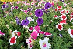 The flowers (nguyennghi2909) Tags: pink flowers red beautiful purple lunarnewyear flowergarden 2016 dunnoitsname cresentmall