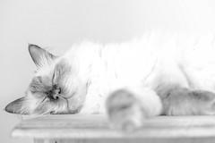 Sleeping cat (Kent Eriksson) Tags: highkey fotosondag fs160207