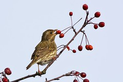 Stand high (Adam Wang) Tags: red tree bird berry branch wildlife sparrow