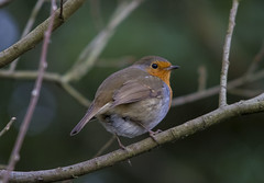 Robin (Explored) (wayne.withers1970) Tags: