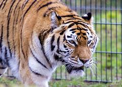 Tiger (Hans van der Boom) Tags: netherlands animal tiger nederland nl safaripark beeksebergen noordbrabant hilvarenbeek hilarenbeek
